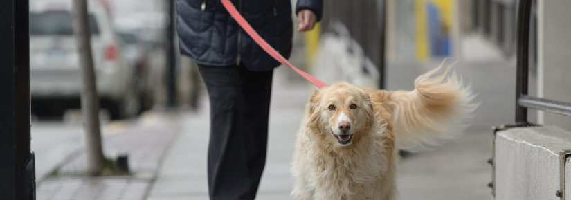 A golden retriever being walked on a leash down a paved sidewalk
