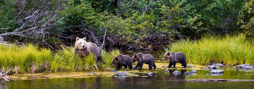 Wild grizzly bear family mother with cubs walking along the water near a forest
