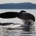 Wild humpback whale with tail out of water
