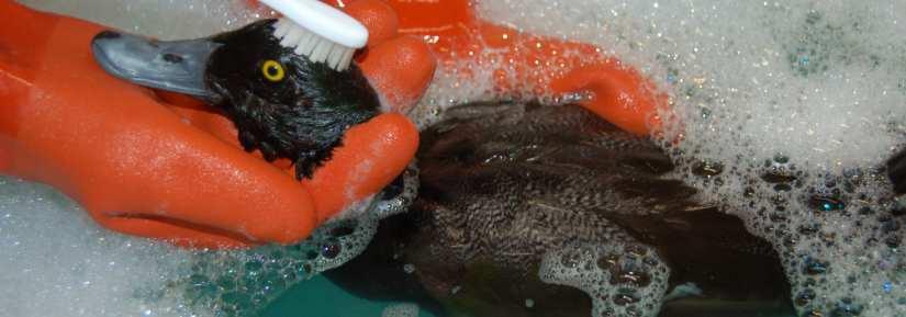 Lesser scaup oil bath