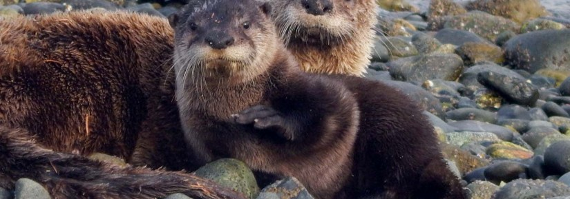 Wild otters on a rocky beach