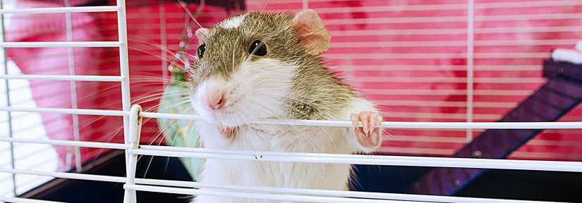 Cute rat in cage with hands over bars looking over opening of cage