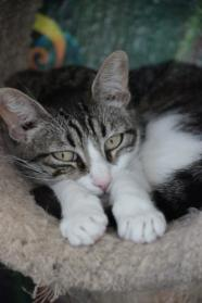 Jordan Domestic Short Hair & Tabby Mix Prefers a home without small children