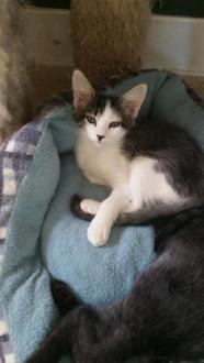 Ella Domestic Medium Hair-black and white & Tabby Mix Prefers a home without small children