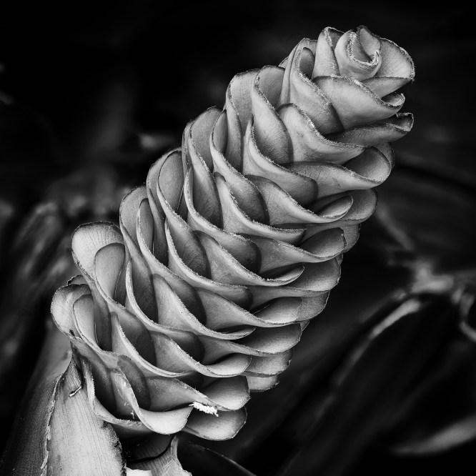 Alpinia gigantifolia 'Toni Parson'