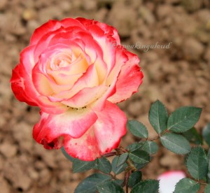 Chandigarh Rose Garden Images India