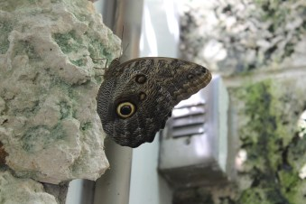 The wings of this butterfly look half the face of an owl, the wing reached almost the size of my hand.