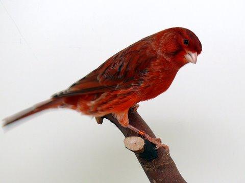 agaat-rood-schimmel