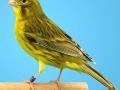 agaat-geel-intensief