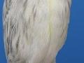 zwartopaal-geel-mozaiek-type-1