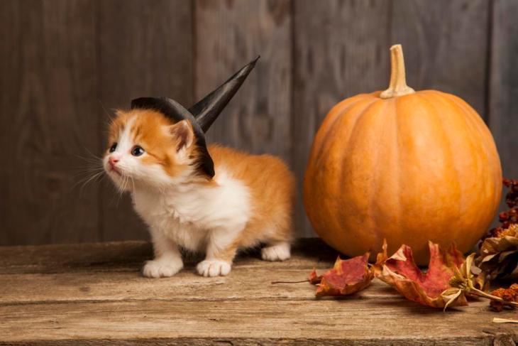ginger kitten and halloween pumpkin jack-o-lantern on black wood background.