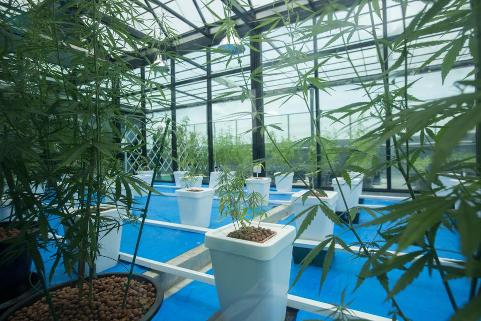 Cannabis plants used for medical purposes seen being display.