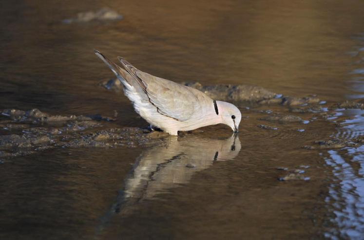 Ring-Necked Dove drinking water