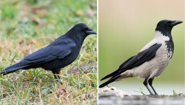 crows composite