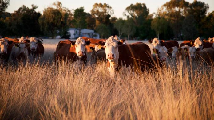 Regenerative farming practices, like rotating cattle to new fields, can restore carbon and water absorption to depleted soils.