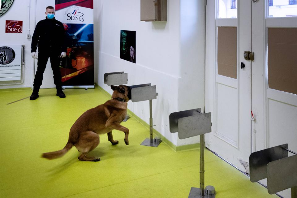 Training dogs in Paris to detect Covid-19 in people.