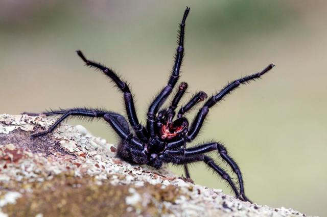 A female Andalucian funnel-web spider, Macrothele calpeiana, found in lockdown in Provence