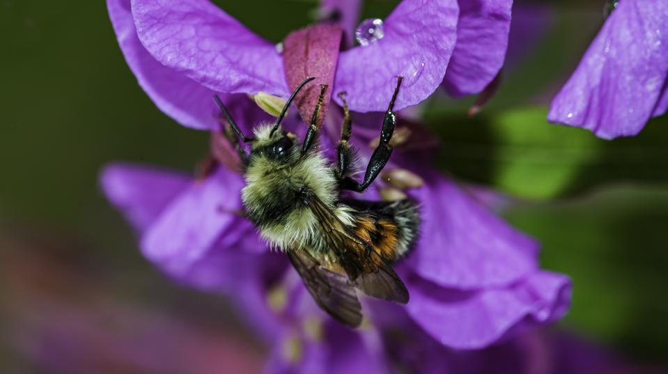 tricolored bumblebee, Bombus ternarius, on fireweed flower, Prince William Sound, Alaska.
