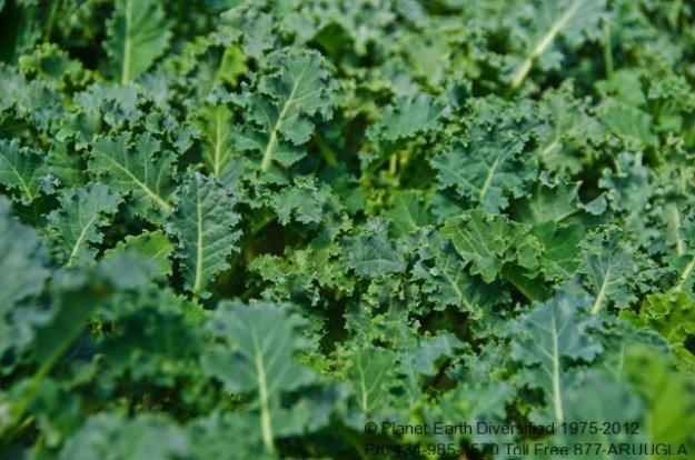 baby-kale-leaf