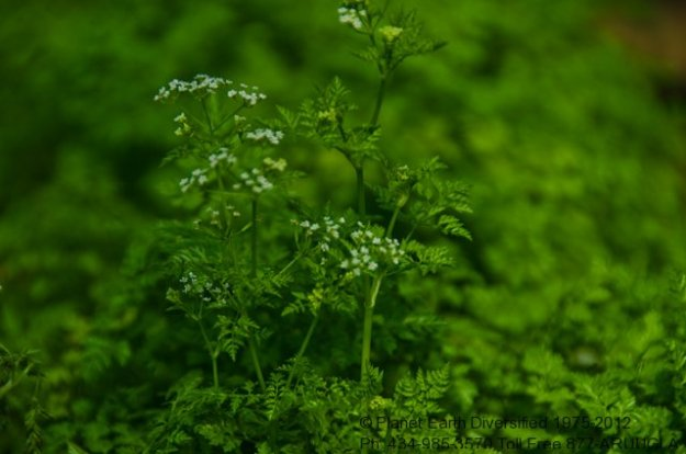 chervil-flowers