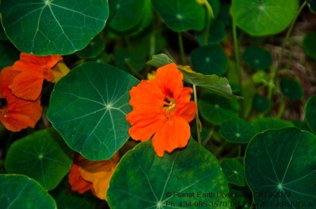 nasturtium-flower