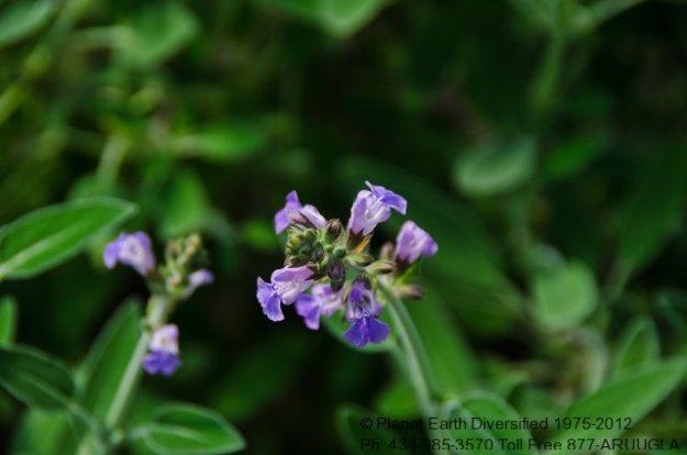 sage-flowers