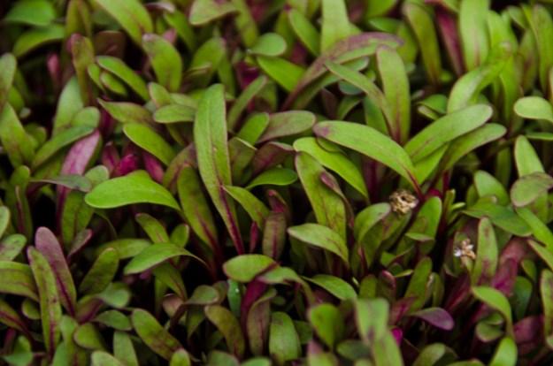 nano-micro-beet-leaf