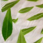 Select Lemon Verbena leaves