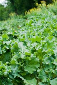 Premier Kale