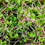 Microgreens Closeup