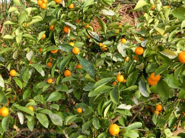 Calmondin Citrus - Tart little oranges