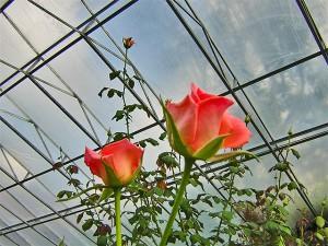 Rose Flower House