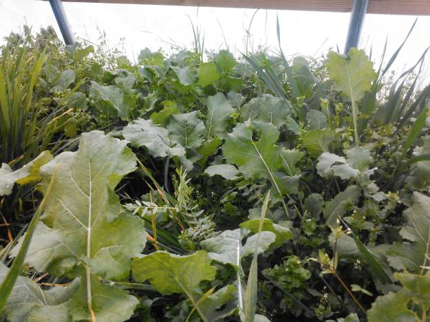 growing kale in the high tunnel