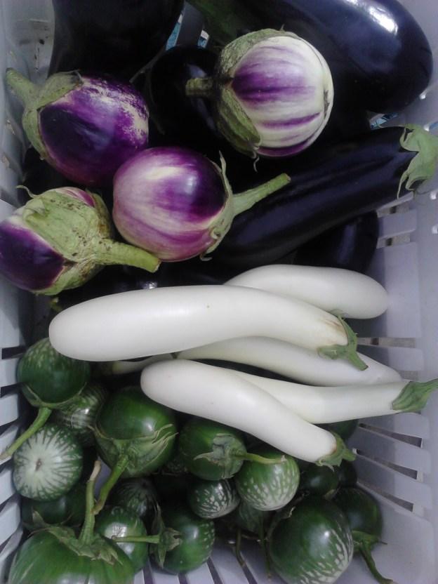 CSA Sep 23 Eggplant