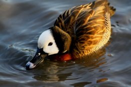 Bush Duck