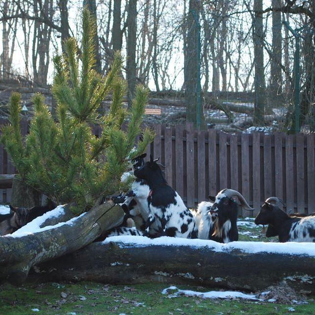 Ялинки тваринкам подарували у Рівненському зоопарку