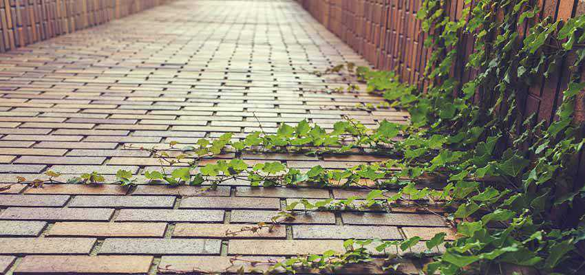A brick path with ivy.