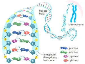 DNA molecule shows the letters that pair up to form the rungs on a twisted ladder, with G pairing with C, and A pairing with T.