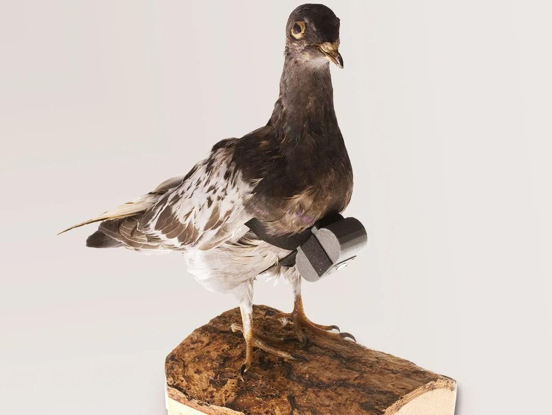 Dans les années 1970, la CIA a mis au point une petite caméra qui transformait les pigeons voyageurs en espions.