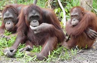 "A Troop of orangutans on ""The Orangutan Island"""