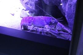 Lobster, eller också STREBLO!