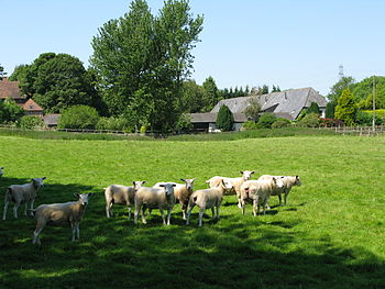 English: Sheep reluctant to leave the shade