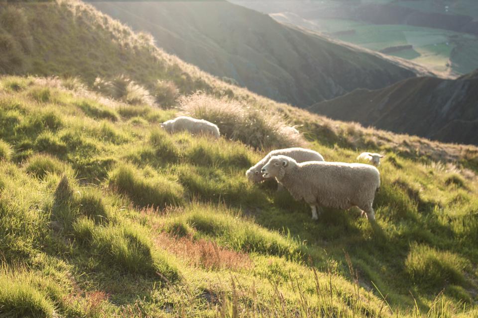 spellbound travels sheep at roys peak