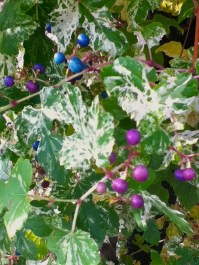 blue and purple berries on bush
