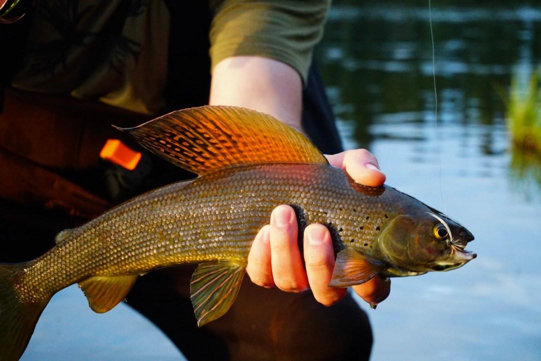 utah fly fishing grayling