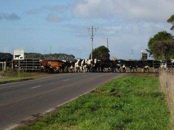 Livestock Crossing