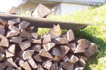 A little French cat in the woodpile