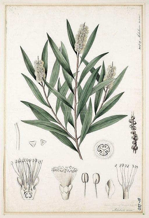 Picture of Melaleuca_cajuputi - Paperbark