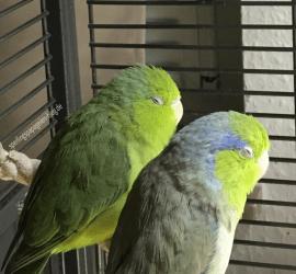 Sperlingspapageien im UV-Licht mit geschlossenen Augen