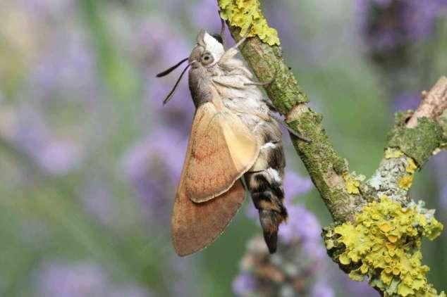 Papillon chenille